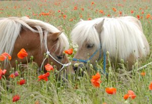 Ponies in the poppies at Shetland Pony Club
