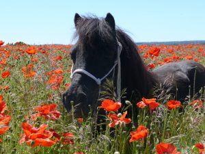 Toby in the poppies